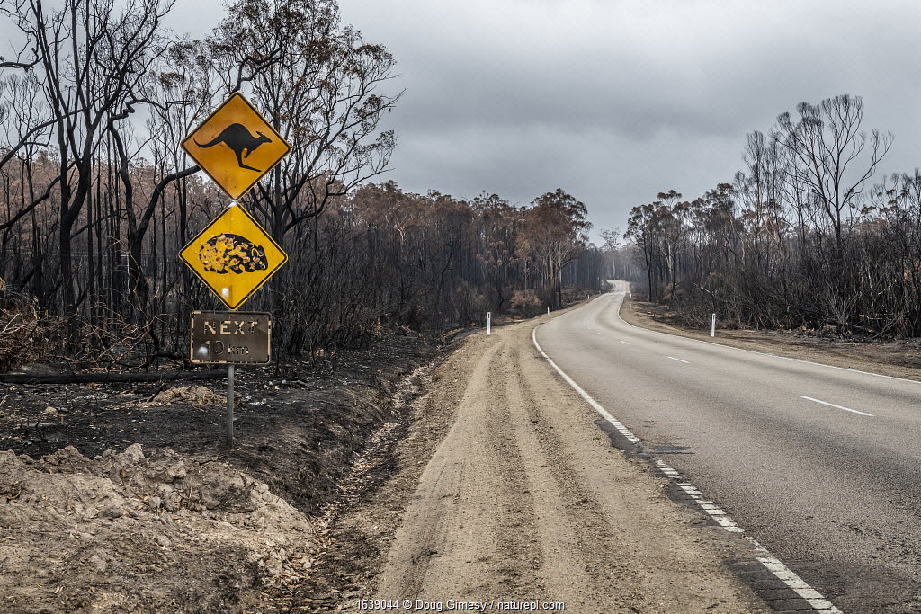 Burnt out watch out for wildlife sign and burnt trees on the Bruthen-Buchan Road, South Buchan. This area was burnt during the November /Dec 2019 fires.? Victoria, Australia. January, 2020