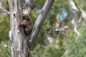 Drone, operated by a member of the Victorian Police Remote Piloted Aircraft Systems (Police Air Wing, Specialist Response Division) hovers near a koala (Phascolarctos cinereus). This drone is being used to help Victorian Forest and Wildlife Officers find and then make preliminary burn/health assessments of koalas that may have been impacted as a result of recent bushfires in the area. Gelantipy, Victoria, Australia. January 2020. Editorial use only.