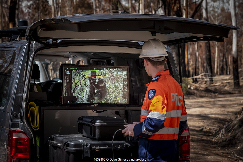 Member of the Victorian Police Remote Piloted Aircraft Systems (Police Air Wing, Specialist Response Division) looking at a screen which is displaying an image sent via a drone of a koala (Phascolarctos cinereus) high up in a tree. This drone is being trailed to help Victorian Forest and Wildlife Officers find and then make preliminary burn/health assessments of koalas that may have been impacted as a result of recent bushfires in the area. Gelantipy, Victoria, Australia. January 2020. Editorial use only