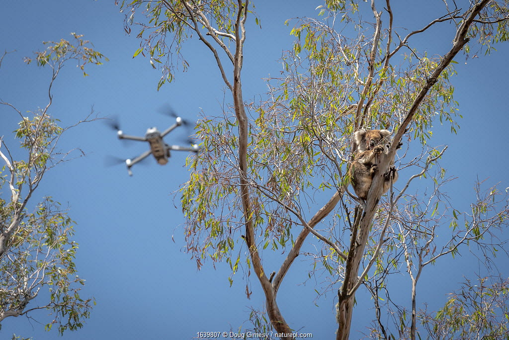 Drone, operated bya member of the Victorian Police Remote Piloted Aircraft Systems (Police Air Wing, Specialist Response Division) hovers near a koala (Phascolarctos cinereus). This drone is being used to help Victorian Forest and Wildlife Officers find and then make preliminary burn/health assessments of koalas that may have been impacted as a result of recent bushfires in the area. Gelantipy, Victoria, Australia January, 2020. Editorial use only. ?Cropped.