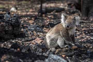 Koala (Phascolarctos cinereus) that has come down from a tree after a bush fire in the area, sits on the burnt ground. Gelantipy, Victoria, Australia. January 2020