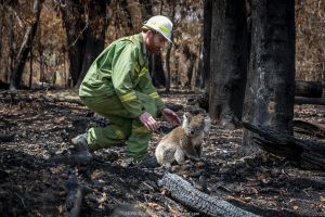 Koala (Phascolarctos cinereus) that has come down from a tree after a bush fire and is walking across burnt ground, is collected by Forest and Wildlife Officer Lachlan Clarke. Gelantipy, Victoria, Australia. January, 2020. Editorial use only. Cropped.