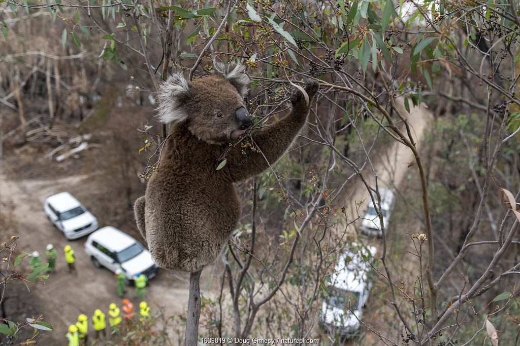 Koala (Phascolarctos cinereus) in a Eucalyptus tree after recent bushfires, just before having a visual inspection for its health. If it is determined that a closer examination is required to determine its health, it will be brought down via the cherry picker from which this image was taken. Gelantipy, Victoria, Australia. January 2020. Below are vehicles of staff from the Department of Environment, Land, Water and Planning (DEWLP) as well as members of the Australian Defence Force, who have been helping with the capture as well as transport of koalas back to the animal triage centre in Bairnsdale.