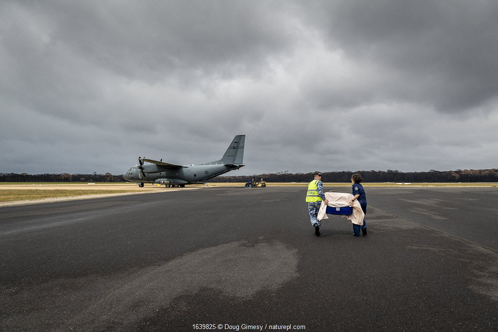 Koala (Phascolarctos cinereus) that was burnt in the Mallacoota bushfires is evacuated from the Mallacoota wildlife triage centre, carried in a crate by a RAAF crew member (left) and Forest and Wildlife Officer Mel Cheers (right), onto a Royal Australian Airforce (RAAF) C-27J Spartan for transport to Melbourne for further treatment by Zoos Victoria veterinarian staff. Six koalas were evacuated that day. Mallacoota airport, Mallacoota, Victoria, Australia. January 2020. Editorial use only.