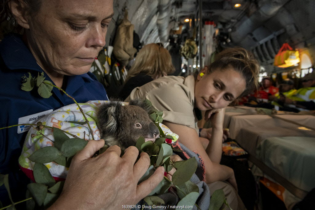 Triage coordinator and Senior Fisheries and Wildlife Officer Abby Smith - sitting in a Royal Australian Airforce (RAAF) C-27J Spartan - holding a young koala (Phascolarctos cinereus) that was burnt in the Mallacoota bushfires and is now being evacuated from the Mallacoota wildlife triage centre to Melbourne further treatment by Zoos Victoria veterinarian staff. Looking on is triage assistant and zoo keeper from Zoos Victoria, Jess MacDonald. Six koalas were evacuated that day by the air force. In flight between Mallacoota (Victoria, Australia) and East Sale RAAF Base, Sale, Victoria, Australia. January 2020. Editorial use only