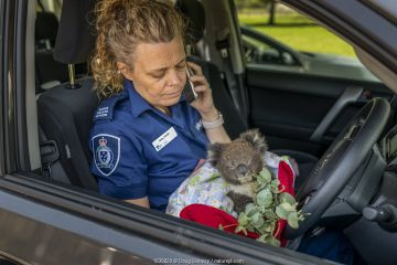 Senior Forest and Wildlife Officer Abby makes final arrangements to drive to Heaslville Sanctuary from Sale, with a young rescued burn victim Koala (Phascolarctos cinereus) named 'Micky'. He was one of 6 koalas evacuated that day from the Mallacoota wildlife triage centre to Melbourne for further treatment to burns as a result of the Mallacoota bushfires. The initial part of the journey was by Royal Australian Air Force (RAAF) C-27J Spartan, the next part will be by road. They will then be looked after by Zoos Victoria veterinarian team. East Sale RAAF Base, Sale, Victoria, Australia.? January 2020. Editorial use only.