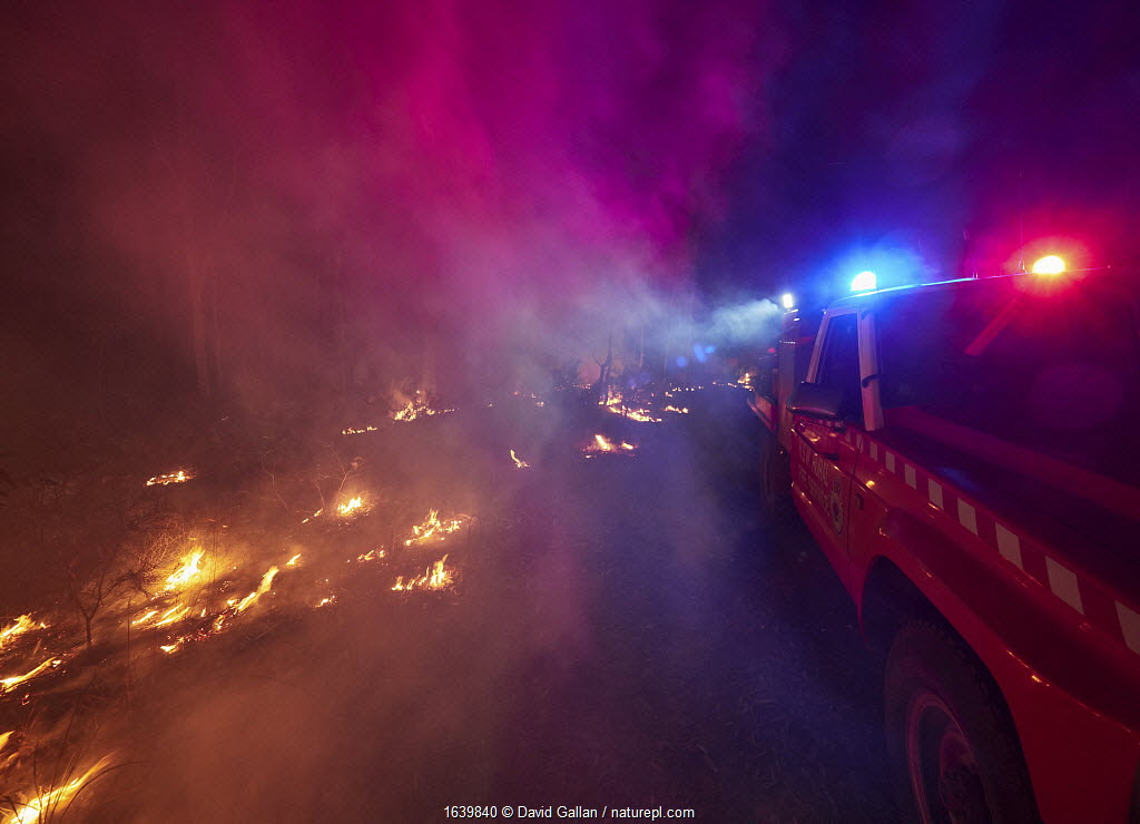 Angledale Rural Fire Service brigade patrolling a backburn to protect the edge of Bermagui township, New South Wales, Australia. January 2020.