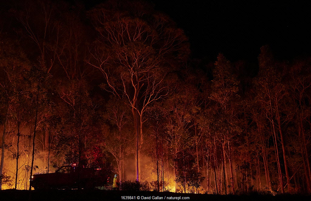 A member of the Angledale Rural Fire Service brigade patrolling a backburn to protect the edge of Bermagui township, New South Wales, Australia. January 2020.