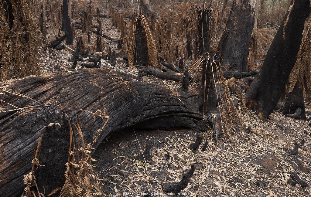 Blackened trees and scorched tree ferns in Monga National Park, New South Wales, Australia. Damage caused by the December 2019 - January 2020 bushfires. Stressed trees have dropped scorched leaves onto the forest floor.