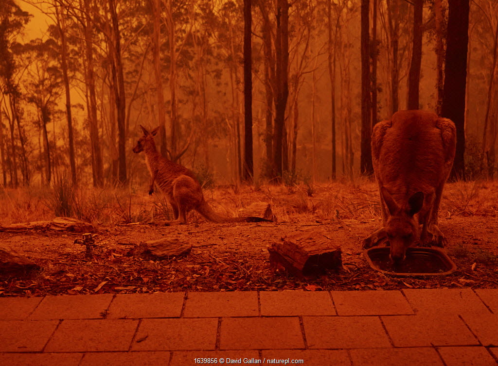 Eastern grey kangaroos (Macropus giganteus) drinking from bird bath as a bushfire burns in the surrounding forest. Sky reddened by ash and smoke. Tathra, New South Wales, Australia. January 2020.