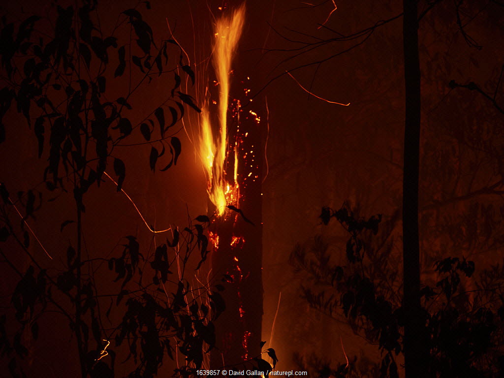 Dead trees continue to burn long after a bushfire has swept through forest in New South Wales, Australia. December 2019.