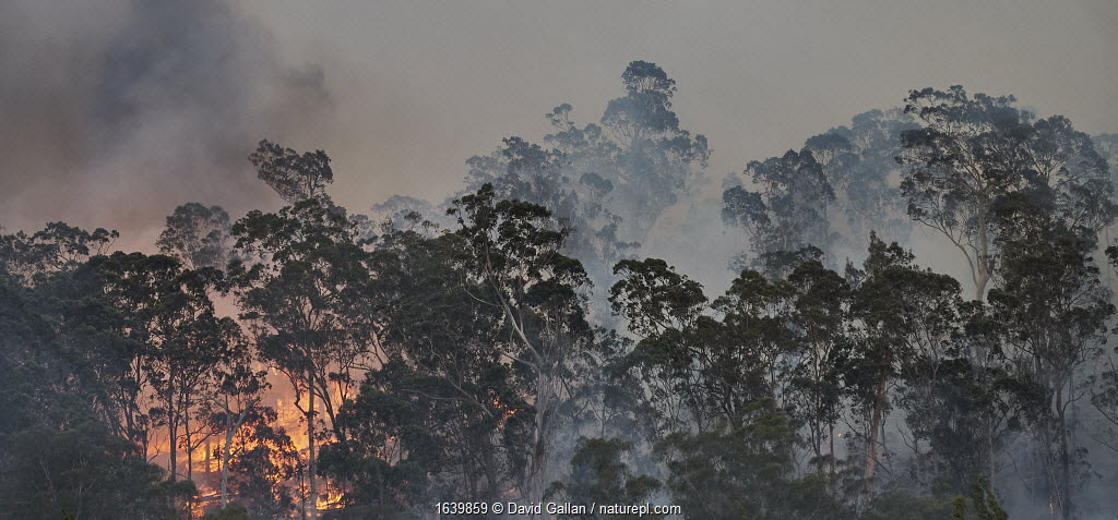 Forest fire on ridge near Clyde River, New South Wales, Australia. December 2019.