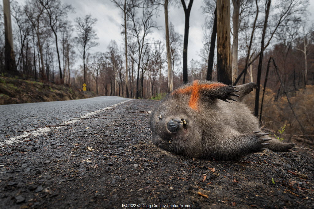 Common / coarse-haired wombat (Vombatus ursinus) laying dead on the edge of Bonang Road, the victim of a car strike. An orange cross has been spray painted on its body to show others it has already been checked for a potential joey in its pouch that may have survived the impact. The forest in the background was burnt during the 2019/20 bushfires that devastated the area. Goongerah, Victoria, Australia. February 2020.