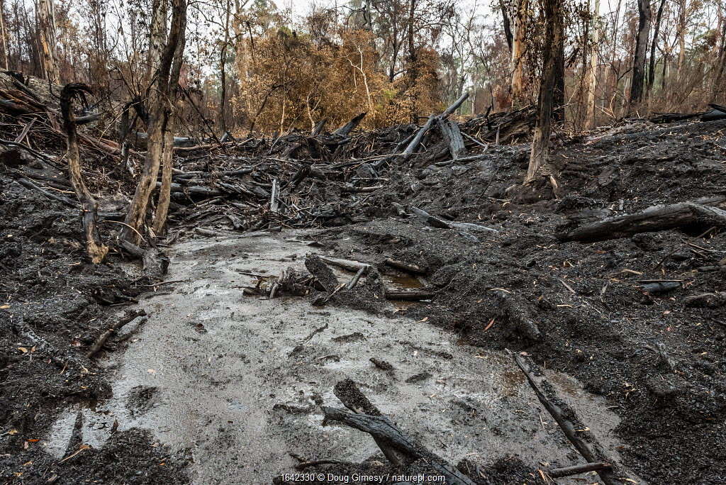 Martins Creek and surrounds after 2019/20 bushfires devastated the area. Rivers in the south-east of Australia endured drought, bushfires and intense rainfall in a brief period. The rains washed ash and mud into the rivers, creating a potential cascade of impacts on fish, invertebrates and platypus. Until the fires, the edge of the creek had wet temperate rainforest along its edge, bounded by wet and damp forest. Martins Creek Scenic Reserve, Nurran, Victoria, Australia. February 2020. Martins Creek Scenic Reserve Nurran, Victoria, Australia February, 2020