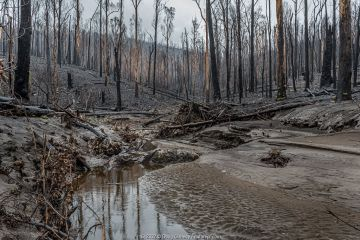 Martins Creek and surrounds after 2019/20 bushfires devastated the area. Rivers in the south-east of Australia endured drought, bushfires and intense rainfall in a brief period. The rains washed ash and mud into the rivers, creating a potential cascade of impacts on fish, invertebrates and platypus. Until the fires, the edge of the creek had wet temperate rainforest along its edge, bounded by wet and damp forest. Martins Creek Scenic Reserve, Nurran, Victoria, Australia. February 2020.