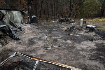 Eastern grey kangaroo (Macropus giganteus) on the burnt grounds of Wallabia Wildlife Shelter. The shelter was destroyed during the 2019/20 bushfires. This male kangaroo (called 'Link') was one of the animals evacuated by owners Rena and Joseph, who also lost their home to the fires. They returned later to rebuild. Goongerah, Victoria, Australia. February, 2020. Editorial use only.