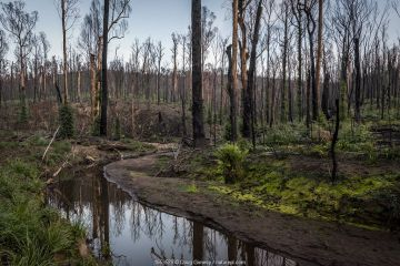Martins Creek and surrounds approx 5 months after 2019/20 bushfires devastated the area. The edge of the creek originally had wet temperate rainforest along its edge, bounded by wet and damp forest. Martins Creek Scenic Reserve, Nurran, Victoria, Australia. June, 2020. See image 1653533 for what this scene looked like in the immediate wake of the bushfire.