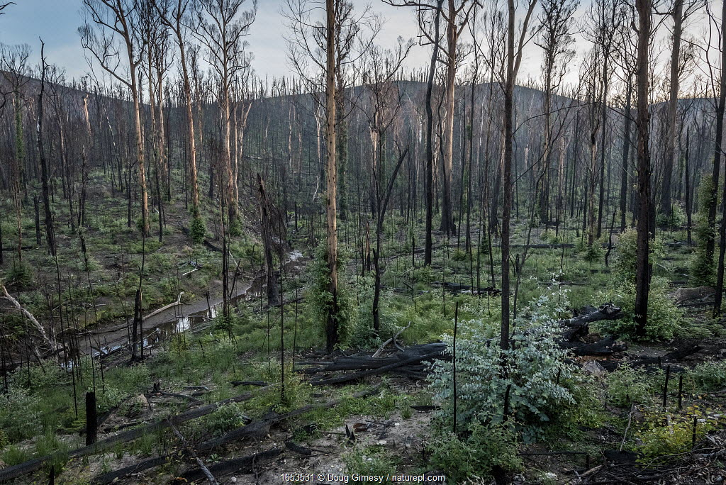 Martins Creek and surrounds approx 5 months after 2019/20 bushfires devastated the area. The edge of the creek originally had wet temperate rainforest along its edge, bounded by wet and damp forest. Martins Creek Scenic Reserve, Nurran, Victoria, Australia. June, 2020. See image 1642352 for what this scene looked like in the immediate wake of the bushfire.