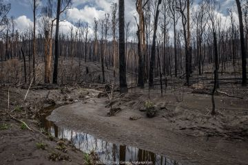 Martins Creek and surrounds after 2019/20 bushfires devastated the area. Until the fires, the edge of the creek had wet temperate rainforest along its edge, bounded by wet and damp forest. Martins Creek Scenic Reserve, Nurran, Victoria, Australia. February, 2020. See image 1653529 for what this scene looked like 5 months later.