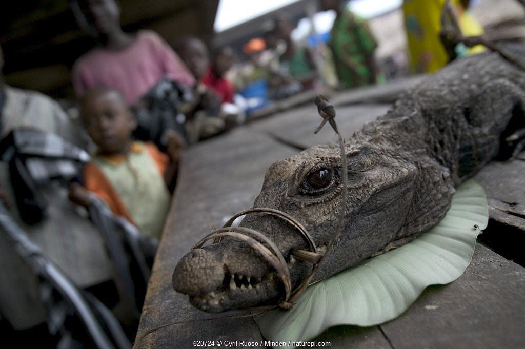 Crocodile bush meat for sale at the Bandaka Market, north of the Democratic Republic of the Congo