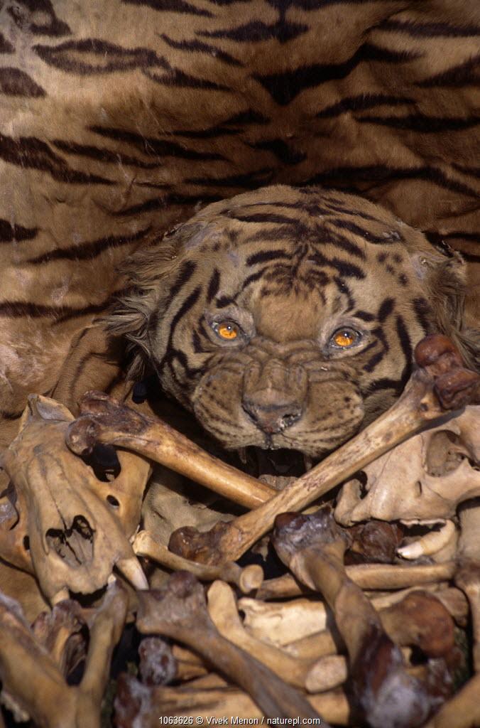 Tiger skin, skull and bones {Panthera tigris} illegal trade, India