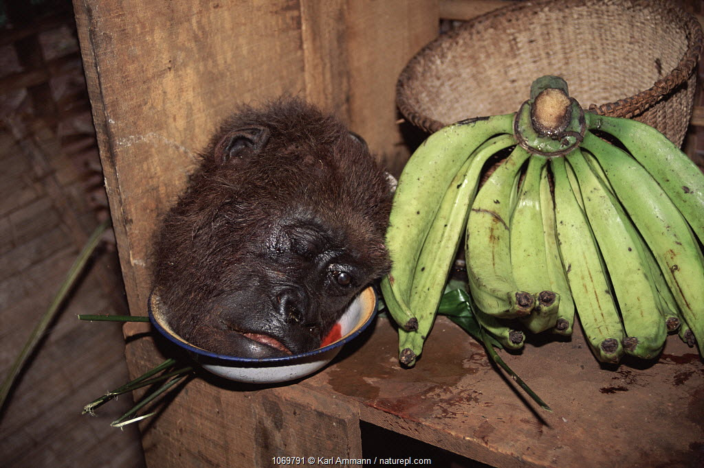 Gorilla head (hunted for meat) next to bananas, Cameroon