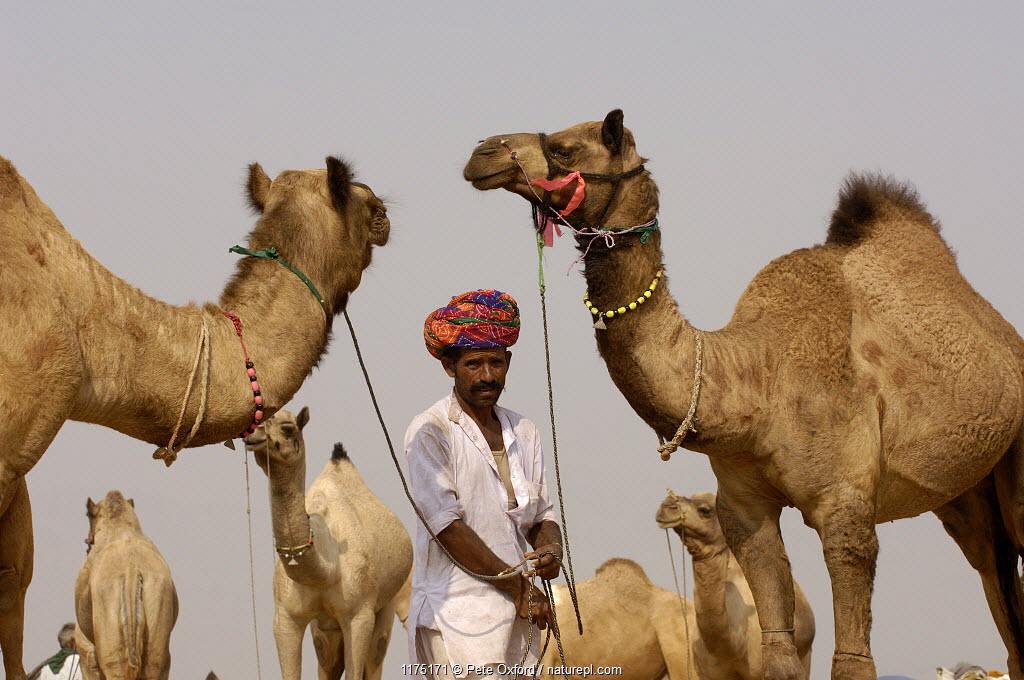 Camels at the Pushkar camel and livestock fair, which takes place in the Hindu month of Kartik (October / November) ten days after Diwali (Festival of Lights). Pushkar, Rajasthan, India, October 2006