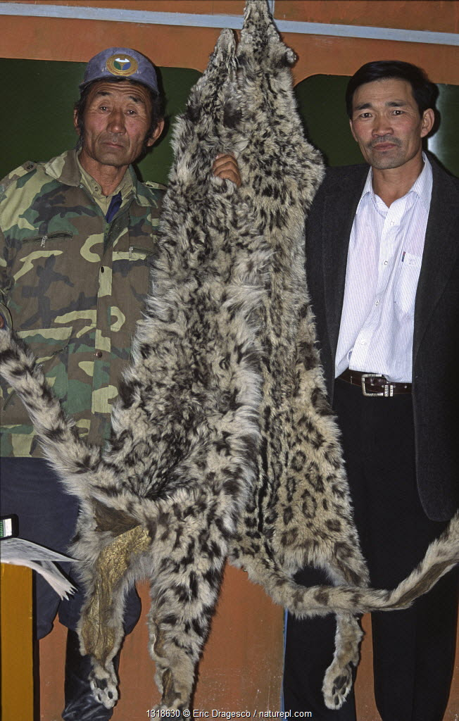 Two poached Snow Leopard skins (Panthera uncia) held by a Ranger, Tchoichin (left) and the Director of Gobi National Park (right) Mongolia.