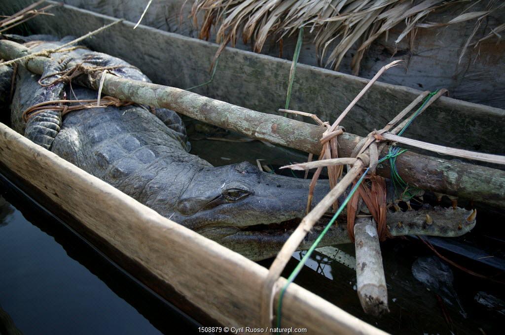 African slender-snouted crocodile (Mecistops cataphractus) for sale at Mbandaka bush meat market, Democratic Republic of the Congo.