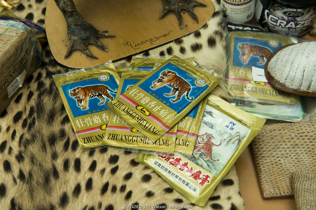 Tiger bone products used in Chinese medicine and other confiscated items in display of confiscated CITES protected wildlife products at Dusseldorf Airport, Germany, June 2015. Products seized by German Federal Nature Conservation Agency (BfN).