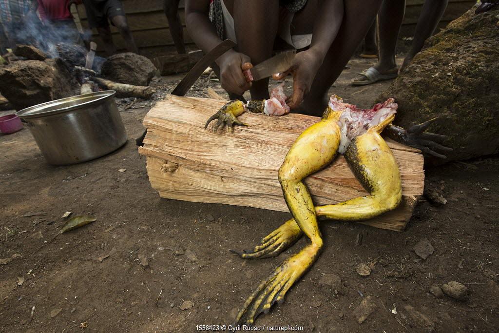 Goliath frog (Conraua goliath) butchered, hunted for food, Cameroon.