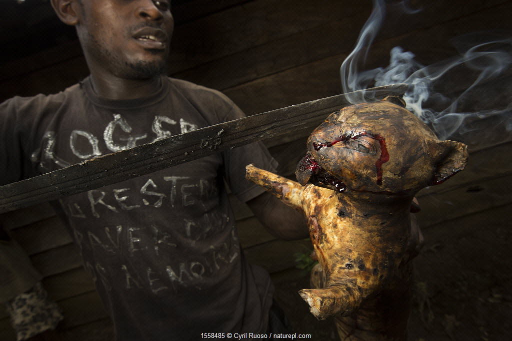 Man smoking a small wild cat, caught for bush meat, Cameroon, February 2015.