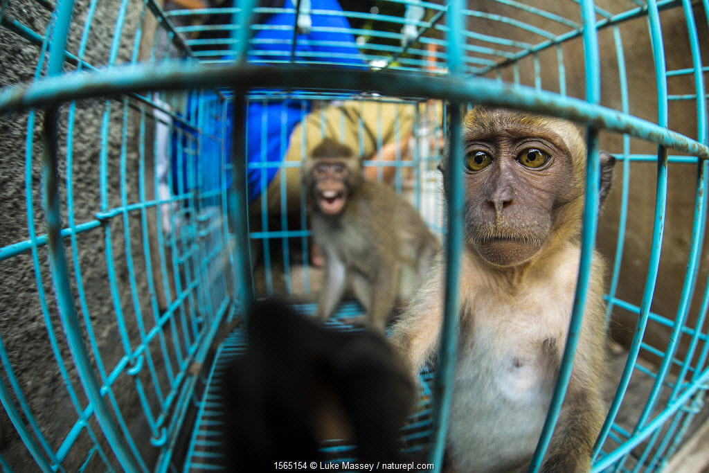 Two young long tailed macaques (Macaca fascicularis) sit inside a cage for sale at Pasty Market, Yogjakarta, Indonesia