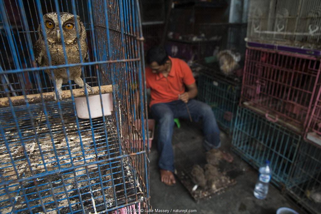 Scops owl (Otus sp.) for sale in an animal market, Denpasar, Bali.