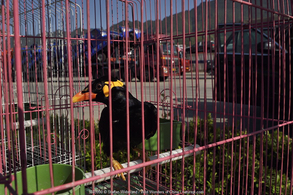Hill myna (Gracula religiosa), caught in the wild, for sale at a truckstop, Shaanxi, China.