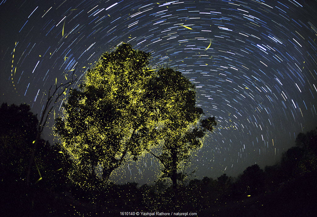 Composite image of Fireflies synchronize display just after first shower of monsoon, on moonless night. India.