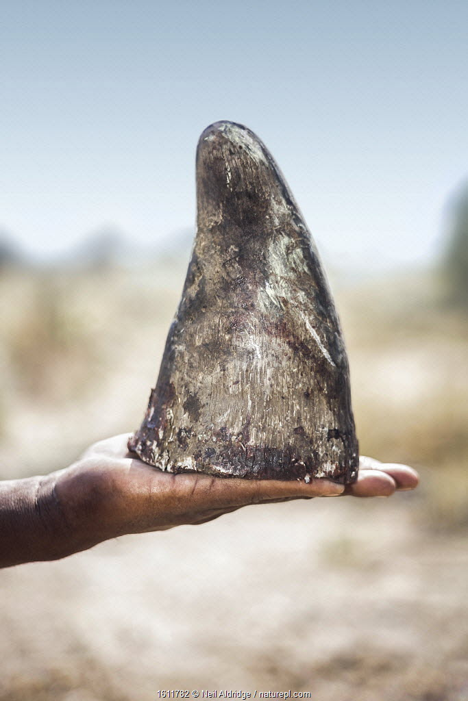 White rhinoceros (Ceratotherium simum) horn held in human hand. Rhino horn is trafficked illegally to the Far East to be used in Traditional Chinese Medicine and to feed demand from those who see it as a desirable status symbol. Rhino horn has no medicinal properties. Highly Commended in the Natural World Category of the Sony Photography Awards 2018. Winner of the Environmental Picture Story Category of the NPPA Best in Photojournalism contest.