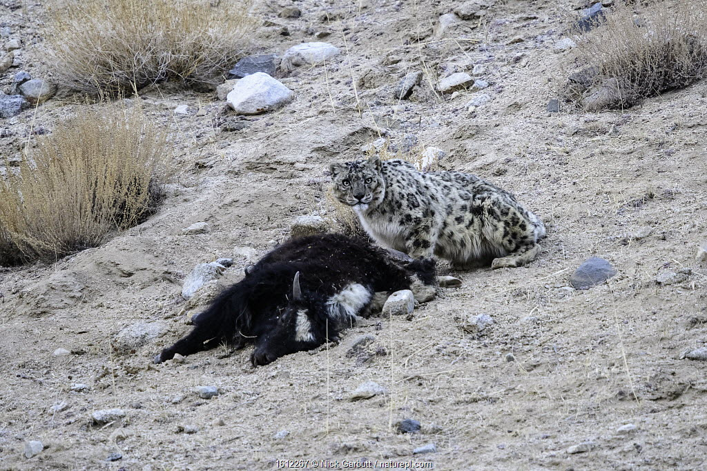 Wild female Snow leopard (Panthera uncia) with its kill - a domestic yak calf (Bos grunniens). Ladakh Range, Western Himalayas, Ladakh, India.