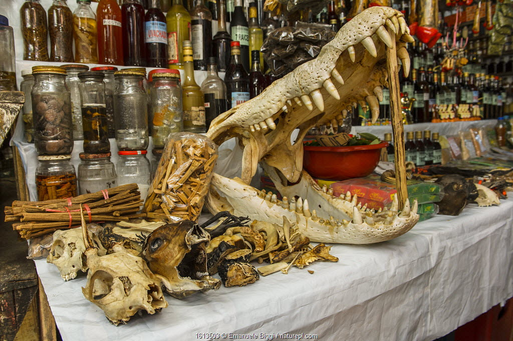 Animal body parts including crocodilian skull, for sale at market, Belen markets of Iquitos, Peru. July 2014.