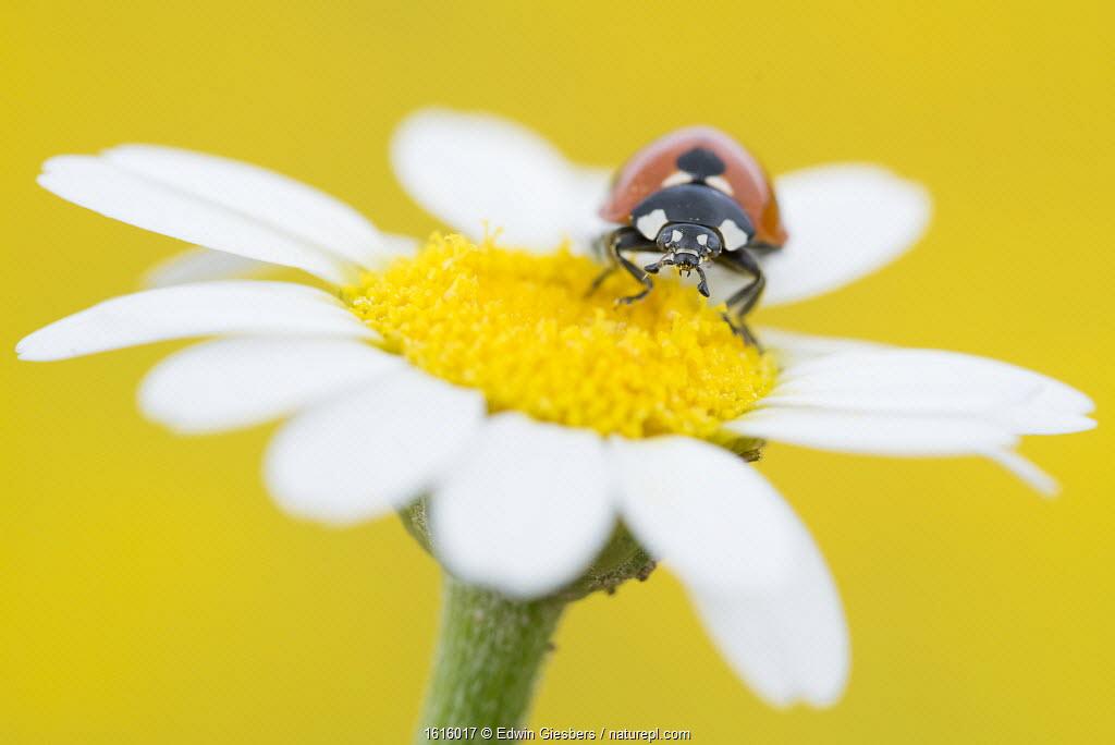 Seven spot ladybird (Coccinella septempunctata) on Mayweed (Anthemis sp) flower. Cyprus. April.