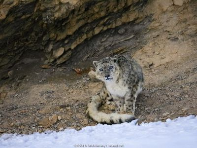 Snow leopard (Panthera uncia) old male on a cliff ledge in Spiti valley, Cold Desert Biosphere Reserve, Himalaya mountains, Himachal Pradesh, India, February