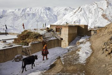 Woman with a domestic yak (Bos grunniens) in Kibber village at 4.270 m, Spiti valley, Cold Desert Biosphere Reserve, Himalaya mountains, Himachal Pradesh, India, February