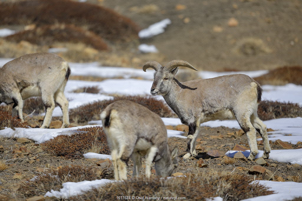 Blue Sheep or bharal (Pseudois nayaur) at 4,450 metres,Spiti valley, Cold Desert Biosphere Reserve, Himalaya mountains, Himachal Pradesh, India, February