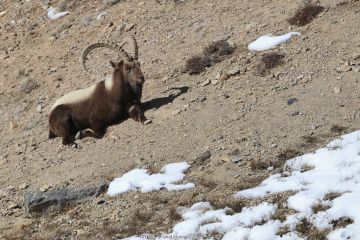 Himalayan ibex (Capra sibirica) male resting, Spiti valley, Cold Desert Biosphere Reserve, Himalaya mountains, Himachal Pradesh, India