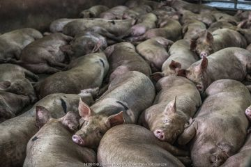 Pigs crowded together at slaughterhouse before slaughter, Thailand. February.
