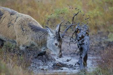 Red Deer (Cervus elaphus) covering itself in mud from a muddy puddle after urinating in it in order to smell strong and warn off rivals, Scotland, UK, October.