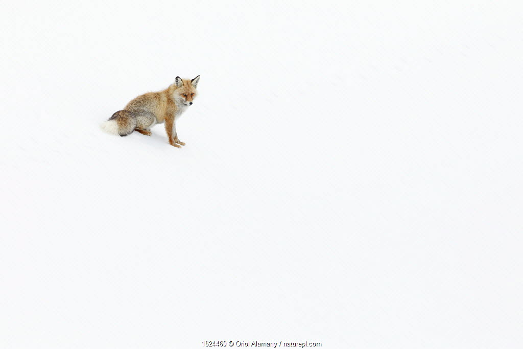 Red Fox (Vulpes vulpes) in the snow around Kibber, in Spiti Valley, Cold Desert Biosphere Reserve, Himalaya, Himachal Pradesh, India, March