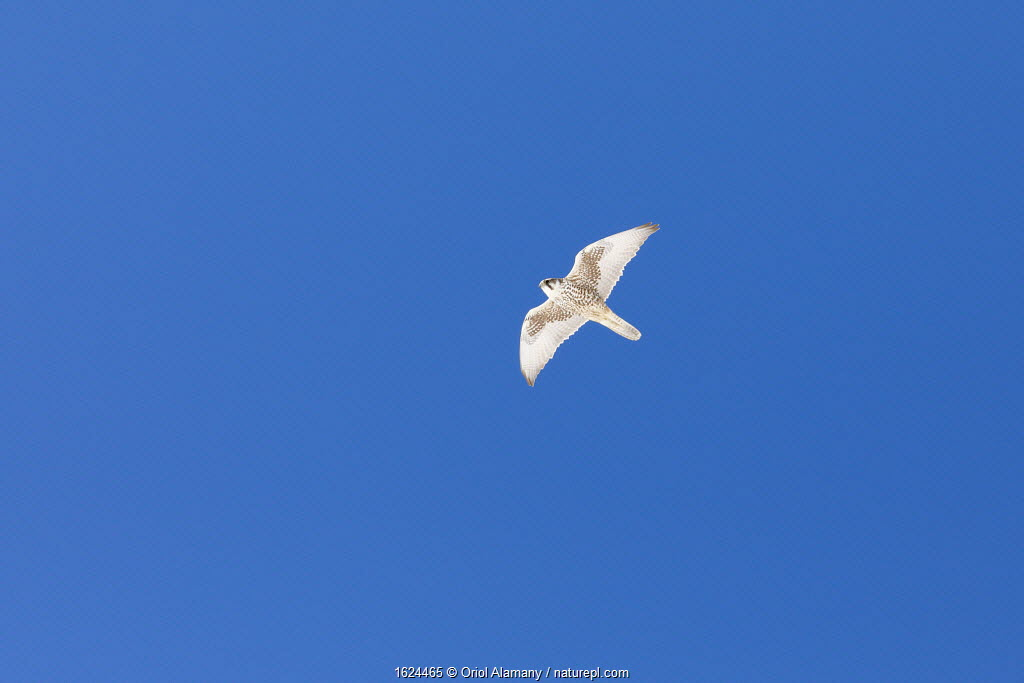 Saker Falcon (Falco cherrug) in flight in Spiti Valley, Cold Desert Biosphere Reserve, Himalaya, Himachal Pradesh, India, March
