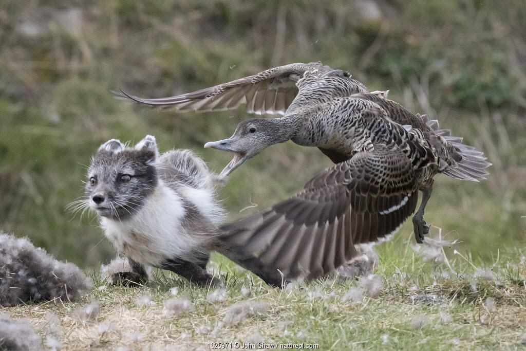 Common eider duck (Somateria mollissima) female defending her nest from arctic fox (Vulpes lagopus). Longyearbyen, Spitsbergen. June.