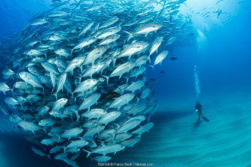 Scuba diver on the sandy bottom surrounded by shoal of Big-eye jacks (Caranx sexfasciatus), Cabo Pulmo Marine National Park, Baja California Sur, Mexico